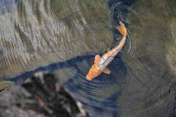 Carp in a pond.