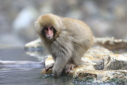 Picture of Bathing Japanese snow monkey