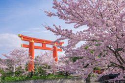 Sakura spot in Kyoto photo